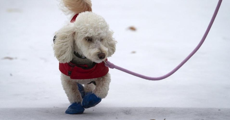 26.jan.2015 - Um cachorro com jaqueta e sapatinhos passeia pelo Central Park, em Nova York (EUA). A costa leste dos Estados Unidos (da cidade de Filadélfia, passando por Nova York e seguindo até o Estado do Maine) se prepara para uma nevasca possivelmente histórica, que os meteorologistas dizem que pode despejar até 90 centímetros de neve na região e prejudicar o transporte de dezenas de milhões de pessoas