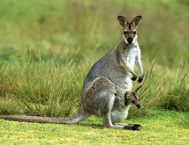 Canguru e seu filhote: cadê o umbigo?