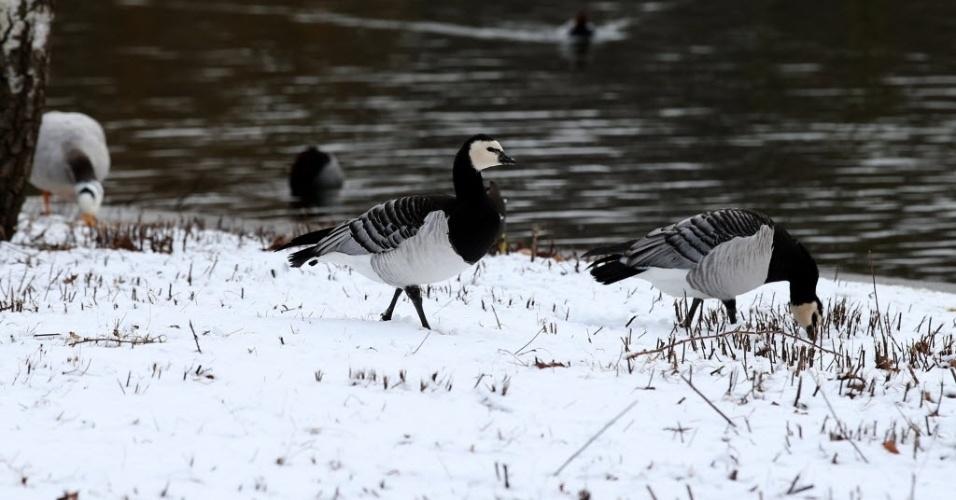 3.fev.2015 - Aves caminham sobre a neve na margem de um lago em Londres, no Reino Unido, nesta terça-feira (3)