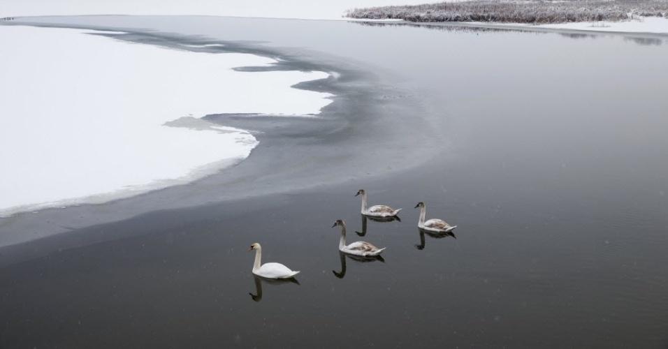 4.fev.2015 - Cisnes nadam em um lago depois de uma nevasca na região de Minsk, em Belarus, nesta quarta-feira (4)