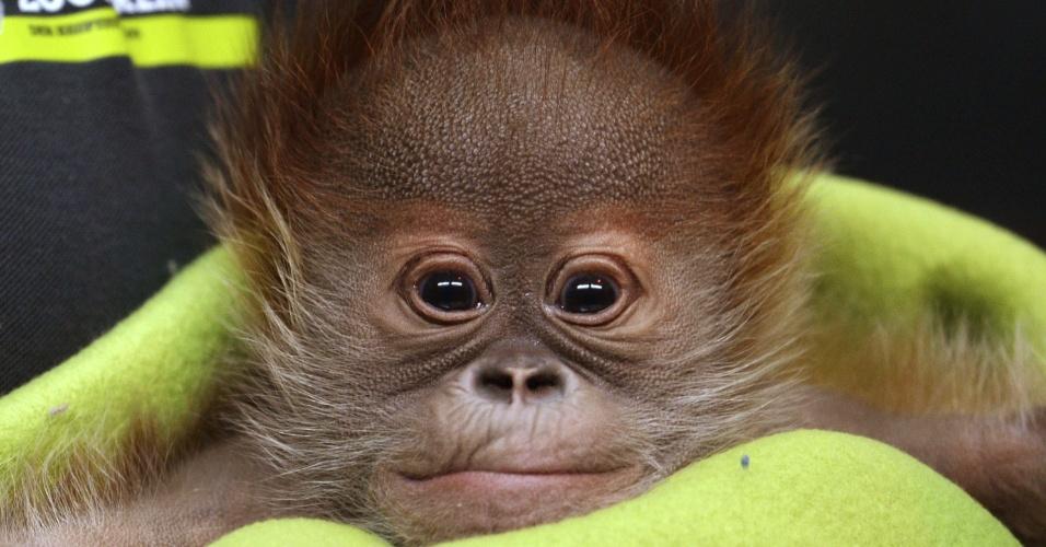6.fev.2015 - Filhote de orangotango com um mês de vida é encontrado no zoológico de Berlim, na Alemanha