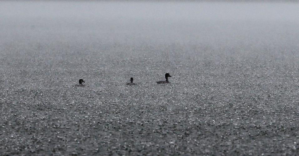 10.fev.2015 - Patos nadam nas águas poluídas da represa Billings durante chuva forte em São Bernardo do Campo, na Grande São Paulo, nesta terça-feira (10)