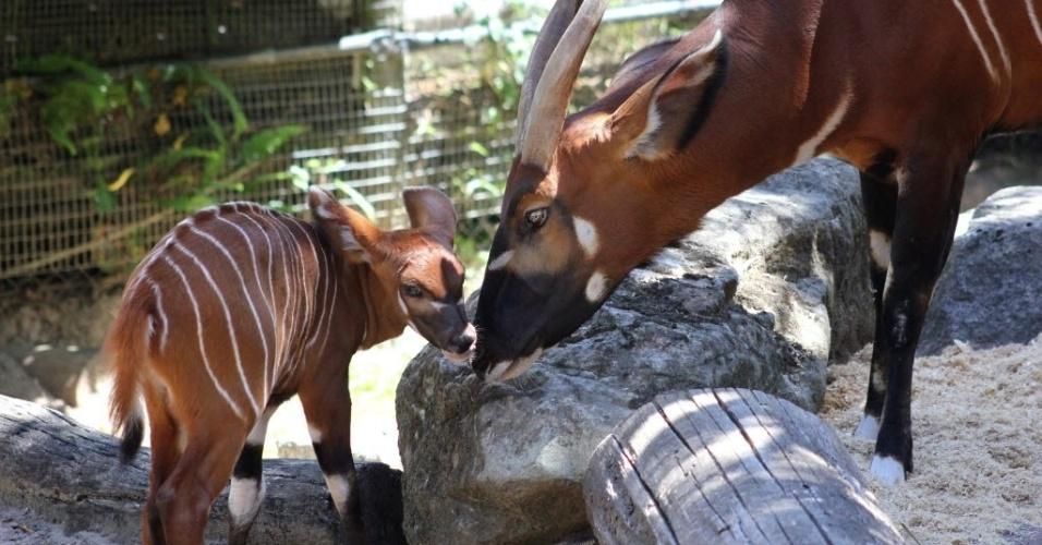 20.fev.2015 - Filhote recém-nascido de uma espécie rara de antílope é apresentado no zoológico de Taronga, em Sydney, na Austrália, nesta sexta-feira (20). O animal proveniente do cruzamento de bongos nasceu em 8 de fevereiro de 2015