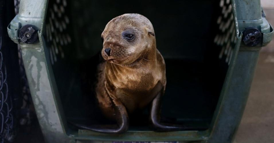 24.fev.2015 - Um filhote de leão-marinho doente e subnutrido senta na sua gaiola no Centro de Mamíferos Marinhos, em Sausalito, na Califórnia (EUA), nesta terça-feira (24). Pelo terceiro inverno consecutivo, leões-marinhos famintos estão aparecendo nas praias da Califórnia. Mais de 900 já foram encontrados e tratados nos centro de reabilitação do Estado desde o início do ano