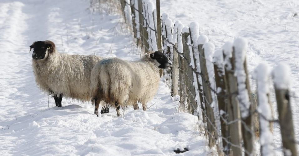 3.mar.2015 - Ovelhas buscam comida em campo coberto porn eve próximo a Kinnaird, na Escócia, nesta terça-feira (3)