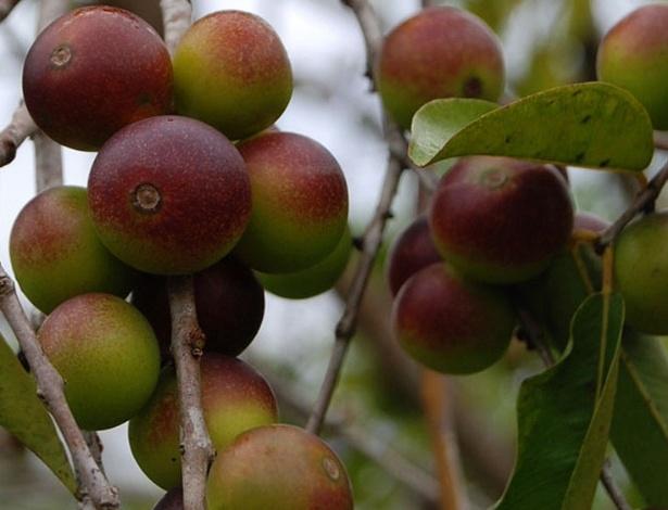 Camu-camu (Myrciaria dubia), da família das mirtáceas, é um arbusto da região amazônica, que produz o fruto mais rico em vitamina C do planeta