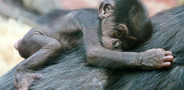 Filhote de chimpanzé com nove dias de vida agarrado nas costas de sua mãe no zoológico de Gelsenkirchen, na Alemanha