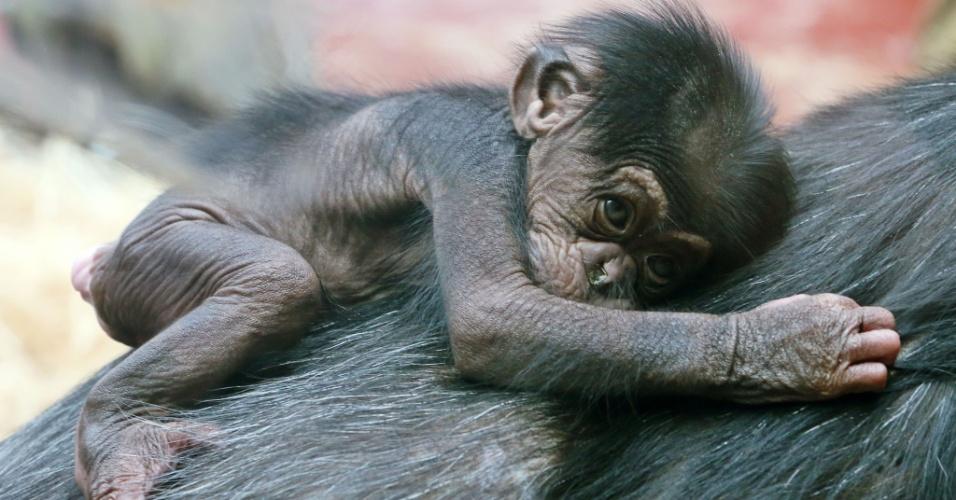 19.mar.2015 - Filhote de chimpanzé com nove dias de vida agarrado nas costas de sua mãe no zoológico de Gelsenkirchen, na Alemanha