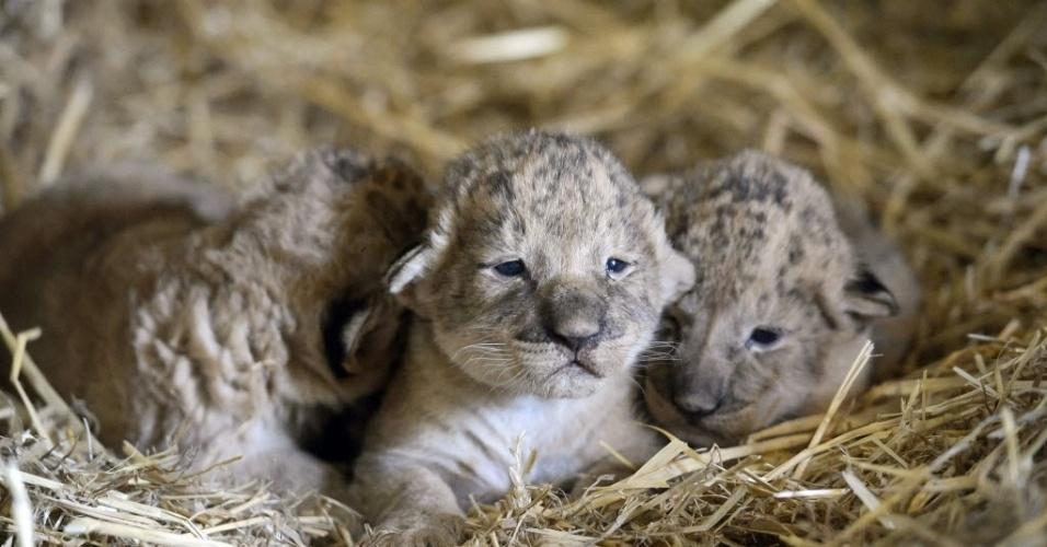 21.mar.2015 - Filhotes de leão são fotografados no zoológico de Gyongyos, na Hungria, neste sábado (21). Um filhote macho e duas fêmeas nasceram no dia 12 de março
