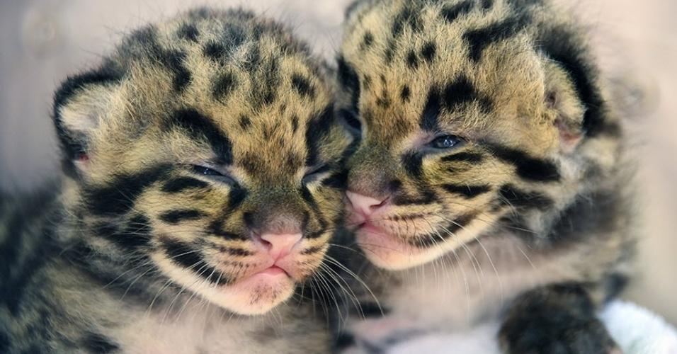 30.mar.2015 - Dois filhotes de pantera nebulosa, espécie ameaçada de extinção, nasceram este mês no zoológico de Miami