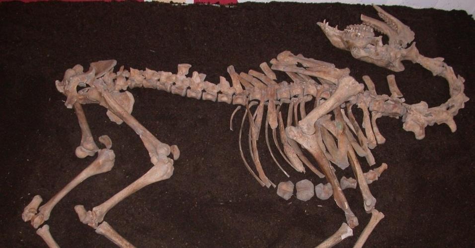 1º.abr.2015 - Arqueólogos encontraram um esqueleto completo de camelo em uma escavação em Tulin, na Áustria. O camelo teria sido trazido para a Europa durante a Segunda Guerra Otomana no século 17. Análises genéticas mostraram que o animal era um macho híbrido de dromedário e camelo bactriano. O achado é único para a Europa Central e foi publicado pelos pesquisadores na revista PLOS One