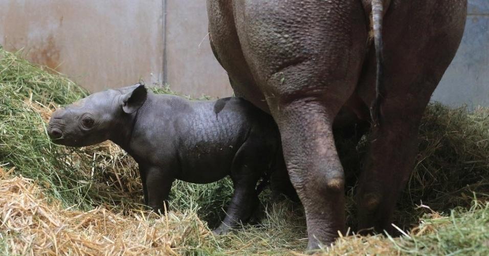 2.abr.2015 - Um filhote de rinoceronte fica perto de sua mãe Malaika em jaula do zoológico de Magdeburg, na Alemanha. O filhote nasceu em 26 de março de 2015
