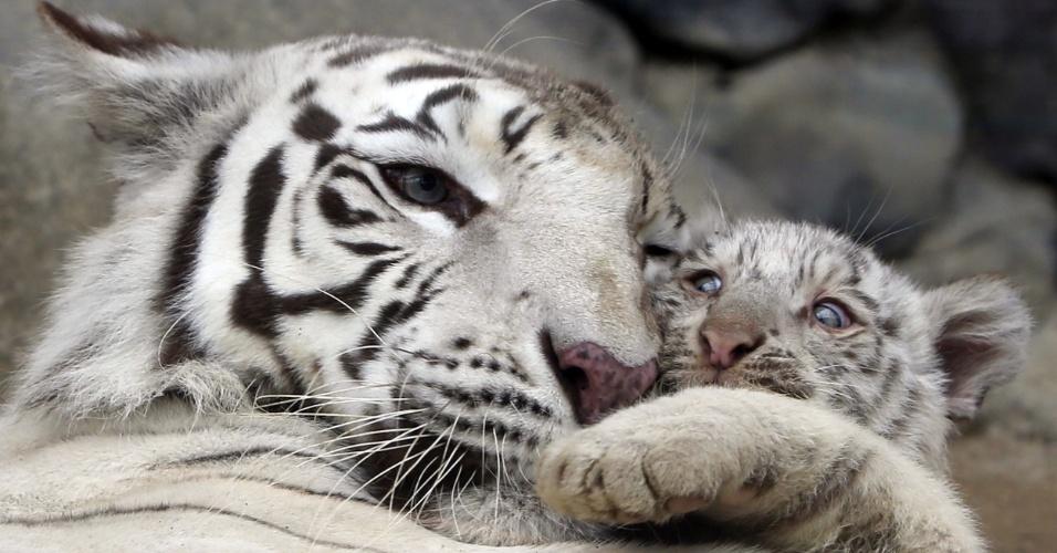 15.abr.2015 - Filhote de tigre branco brinca com a mãe no zoológico Tobu, em Saitama, no Japão