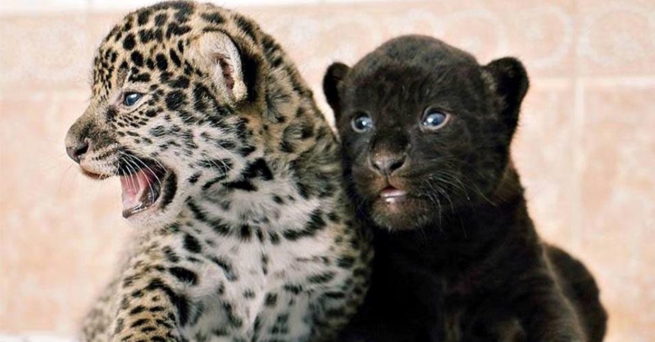 14.abr.2015 - Filhotes de jaguar com um mês de vida são fotografados no zoológico de São Petersburgo, na Rússia