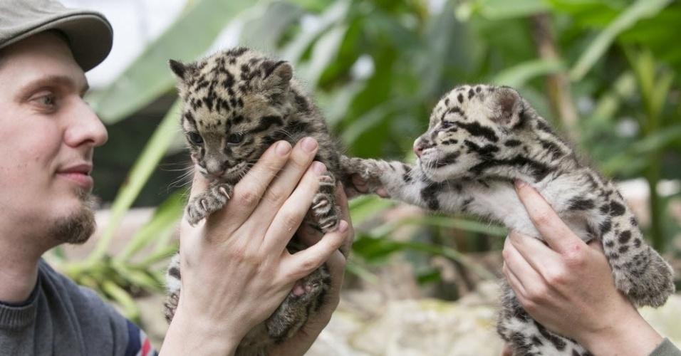 16.abr.2015 - Filhotes de leopardos nascidos em março são apresentados no zoológico Olmense, em Olmen, Bélgica. O leopardo-nebuloso é uma espécie ameaçada de extinção, com apenas cerca de 10 mil animais restantes na terra