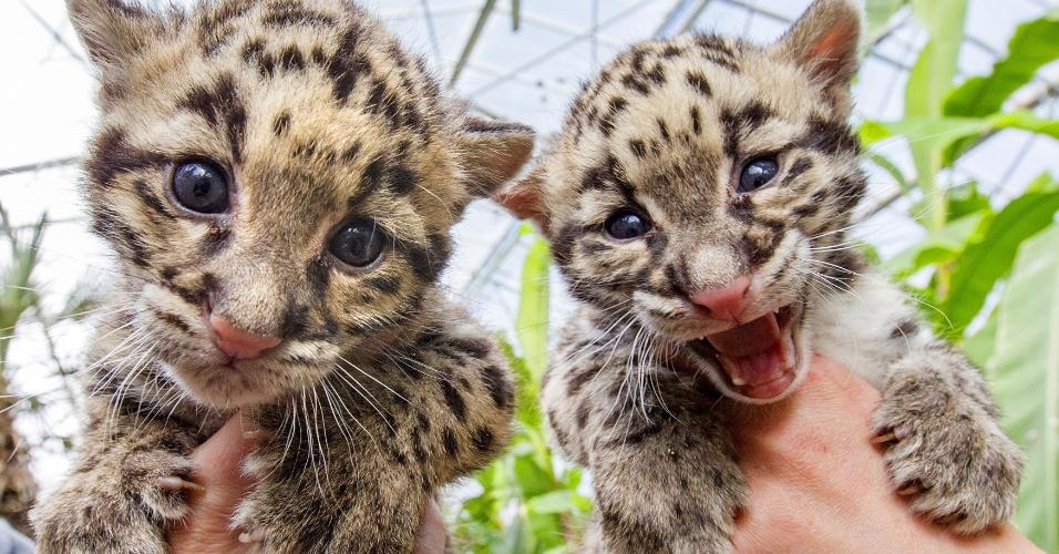 16.abr.2015 - Filhotes de pantera nebulosa nascido no início de março são apresentados ao público no zoológico Olmense, na cidade de Olmen, Bélgica. Essa espécie está ameaçada de extinção e, segundo os pesquisadores, restam cerca de 10 mil animais em todo o planeta