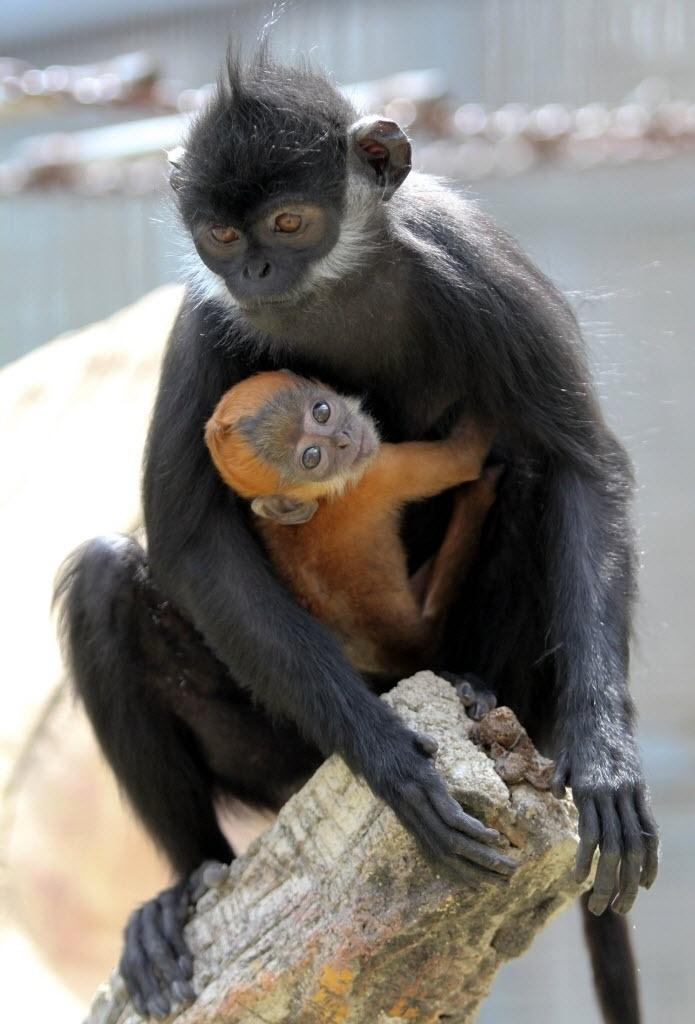 23.abr.2015 - Macaco langur carrega filhote no zoológico de Shandong, no leste da China