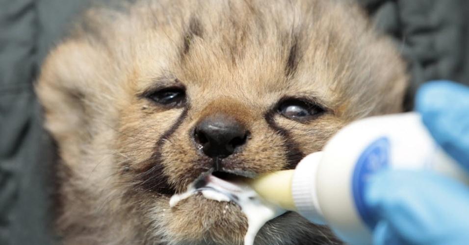 2.mai.2015 - Um filhote de guepardo, também chamado de chita, é alimentado com leite por um tratador no zoológico em Muenster, Alemanha. Sete filhotes nasceram no último dia 28 de abril
