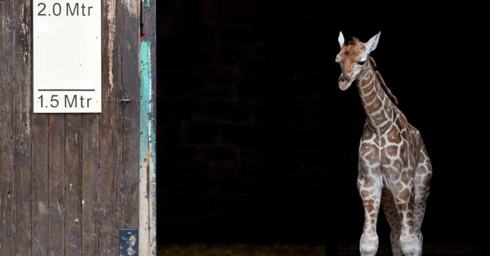 12.jun.2015 - Sanyu, uma girafa Rothschild com cinco dias de vida, é apresentada a jornalistas no zoológico de Chester, na Inglaterra. Sanyu é a segunda girafa dessa espécie a nascer nesse zoológico nos últimos seis meses