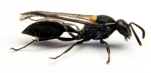 A vespa brasileira Polybia paulista tem em seu veneno uma poderosa toxina que mata células de câncer