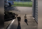 Pato faz amizade inusitada com cachorrinho deprimido por morte de 'irmão' (Foto: Reprodução/WVLT-TV)