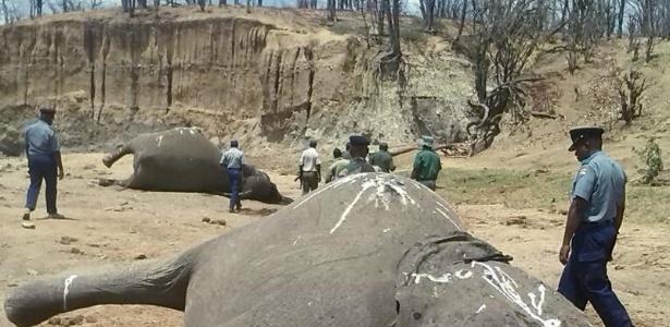 Sobe para 60 total de elefantes mortos com cianeto no Zimbábue