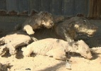 Animais empalhados e apenas um tigre: conheça o 'pior zoo do mundo' na faixa de Gaza (Foto: BBC)