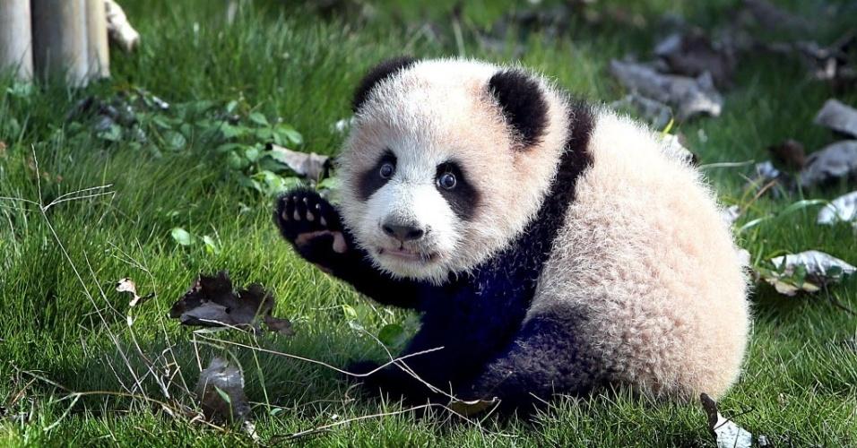 4.nov.2016 - O filhote de panda gigante Huasheng brinca no centro de proteção animal em Shanghai. Huasheng e sua irmã gêmea completaram um mês de vida, com o macho pesando 1,3 kg e a fêmea, 1,1 kg