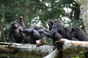 Fêmeas de macacos bonobos se unem e botam machos agressivos para correr (Foto: Takeshi Furuichi/New York Times)