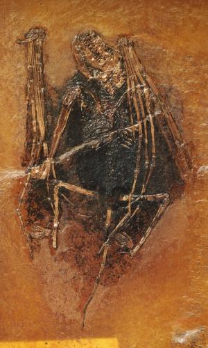 29.set.2015 - PRÉ-HISTÓRIA - Pelo fossilizado de morcego conhecido como Palaeochiropteryx hassianycteris encontrado em Messel, na Alemanha. A pigmentação, baseada em microscópicas estruturas, permite saber a cor da espécie de 49 milhões de anos: marrom avermelhada