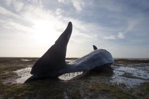 Dezenas de baleias morrem encalhadas em costas do mar do Norte (Foto: Christian Charisius/AFP)