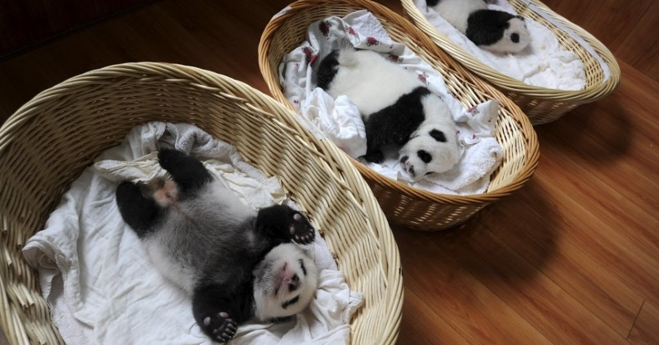 21.ago.2015 - Filhotes de panda gigante dormem dentro de cestos durante apresentação aos visitantes em um centro de reprodução de Ya'an, na província de Sichuan, na China. Dez filhotes, de idades entre uma semana e dois meses, nasceram na instituição neste ano, informou a imprensa local