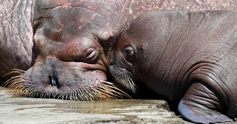 A morsa fêmea (à esq.) e seu filhote de quatro semanas vivem no zoológico de Hagenbecks, em Hamburgo, Alemanha