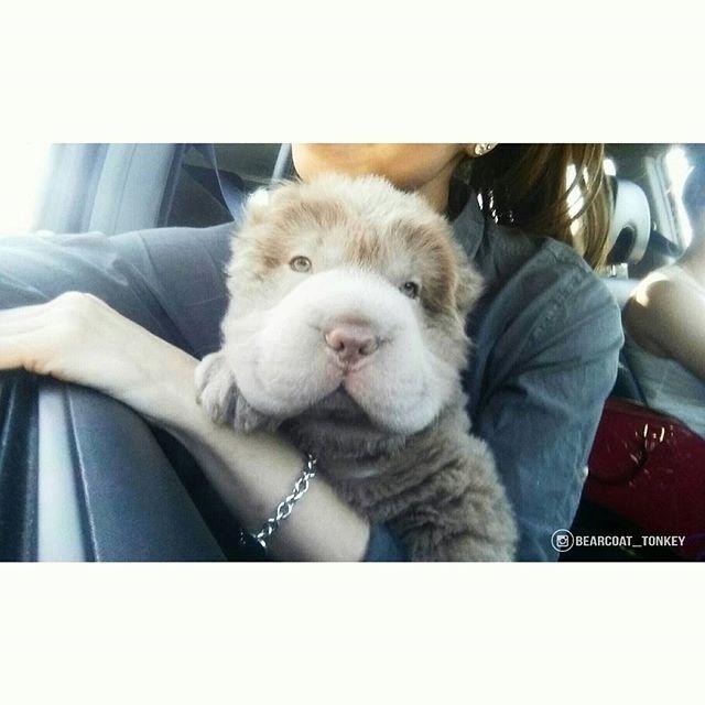 Parece um urso de pelúcia, mas não é. Essa é Tonkey, uma cachorrinha mais do que fofa que mora em Alberta, no Canadá, e tem mais de 44 mil seguidores no Instagram