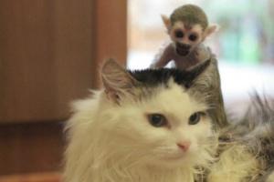Gata ?adota? macaco órfão na Rússia (Foto: BBC)