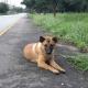 Cadelinha é morta após passar um ano esperando o retorno dos donos em estrada tailandesa - Reprodução/Facebook