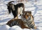 Amizade entre tigre e bode pode ter chegado ao fim na Rússia (Foto: Dmitry Mezentsev/Primorye Safari-Park/AFP)