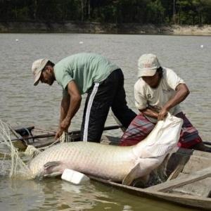 Atualmente, os paumaris garantem renda para as aldeias com a pesca planejada do pirarucu