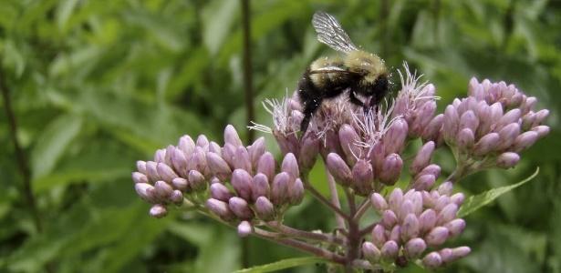 Zangão poliniza flor na cidade de Burlington (EUA). Um estudo publicado em 9 de julho na revista Science indica que as abelhas não estão se adaptando bem às mudanças climáticas