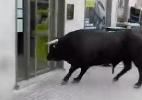 Touro furioso invade banco na Espanha e sai sem conseguir fazer saque (Foto: Reprodução)