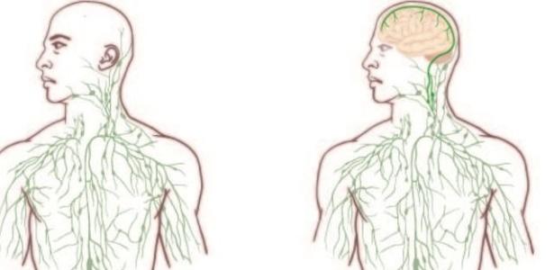 Até esta descoberta se acreditava que o cérebro era o único órgão importante sem vasos linfáticos e, por isso, separado do sistema imunológico. As imagens dos livros de anatomia geralmente mostram a formação de nódulos e vasos linfáticos como uma complexa teia em todo o corpo, com exceção do cérebro