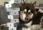 Isso que é ostentar! Filho canino de bilionário chinês ganha oito iPhones 7 (Foto: Reprodução)