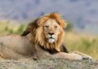 Após serem resgatados de circos sul-americanos, 34 leões irão de avião à África (Foto: iStock)