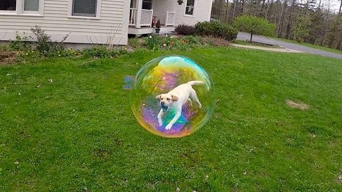 17.ago.2015 - Cão preso em bola de sabão? Parece, mas não é...