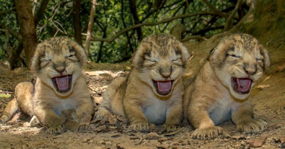 16.jul.2015 - Filhotes de leão asiático recém-nascidos abrem a boca no seu habitat no santuário na região de Junagadh, na Índia, em imagem tirada no dia 6 e divulgada nesta quinta-feira (16). Eles nasceram no dia 5 de julho