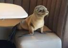 Filhote de leão-marinho invade restaurante e escolhe mesa para jantar (Foto: Reprodução/ Bernard Guillas)