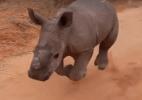 Conheça Warren, o filhote de rinoceronte que atende quando chamado pelo nome (Foto: Reprodução/Working With Rhinos)