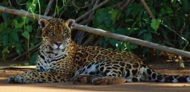 Onças do do Parque Nacional Madidi, na Bolívia, estão sendo alvo de caçadores e contrabandistas
