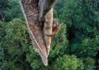 Flagrante de orangotango em árvore para colher figo vence prêmio de foto de vida selvagem (Foto: Tim Laman/ BBC)