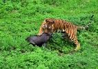 Flagra! Tigre caça javali em reserva da China (Foto: Wei Peiquan/Xinhua)